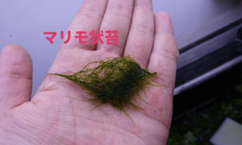 マリモ状藻類アップ