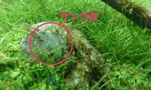 サンゴ藻類アップ
