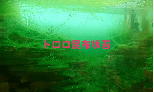 トロロ昆布藻類