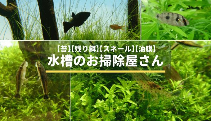 水槽のお掃除屋さんまとめ ー藻類、残り餌、スネール、油膜を食べる生き物ー