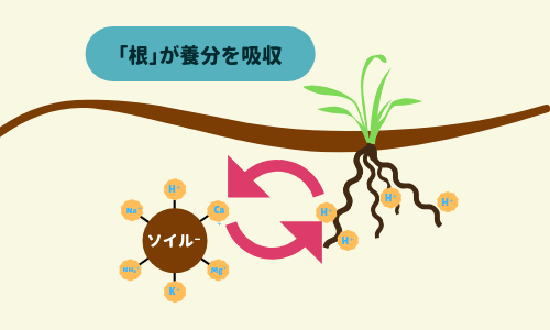 根が養分を吸収する図