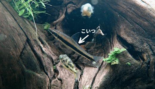 【黒髭コケ予防!】サイアミーズフライングフォックス