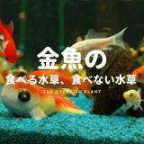 金魚の水草