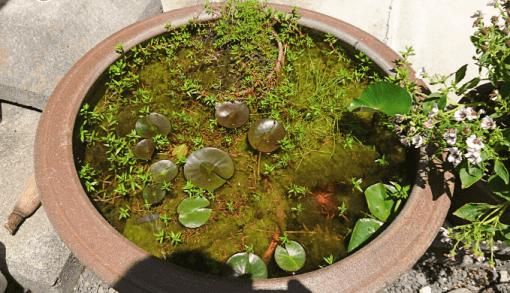 my睡蓮鉢