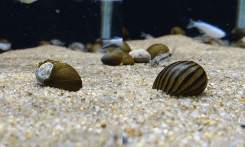 シマカノコ貝