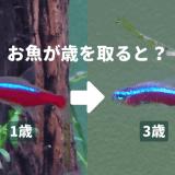 お魚が歳を取ると?