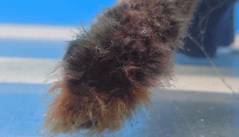 黒髭藻類が変色する