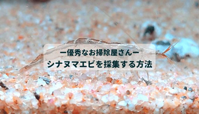 【藻類対策】シナヌマエビを川で採集する方法【繁殖力旺盛】