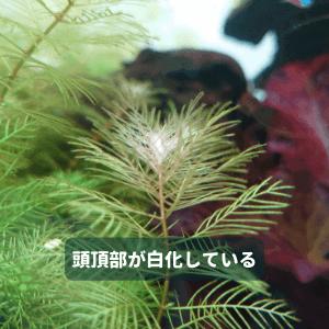 白化した水草