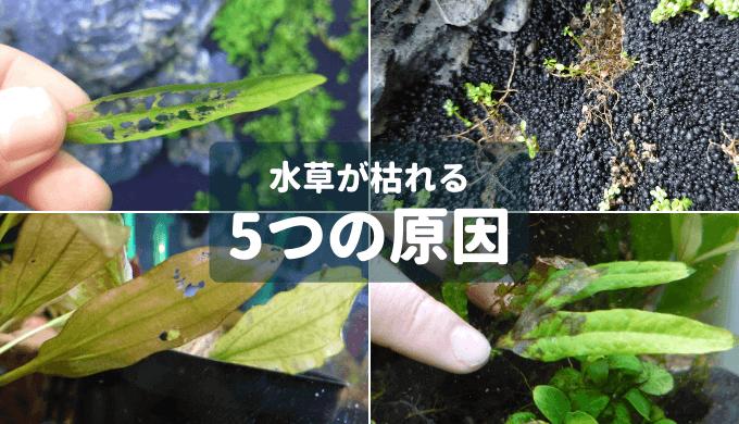 【保存版】水草が枯れる5つの原因 ー原因の判別と対処法ー