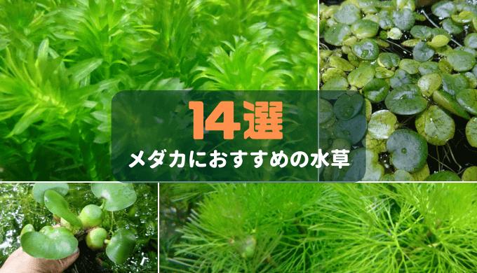 【水草のプロが選ぶ】メダカにおすすめの水草14選
