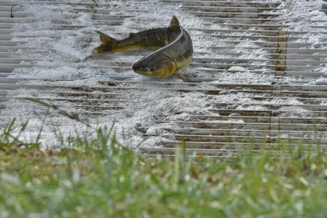 サケ遡上、三面川ウライ漁