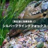 【黒髭苔に効果抜群!】シルバーフライングフォックス