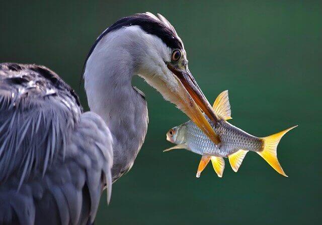 鳥が魚を食べる様子